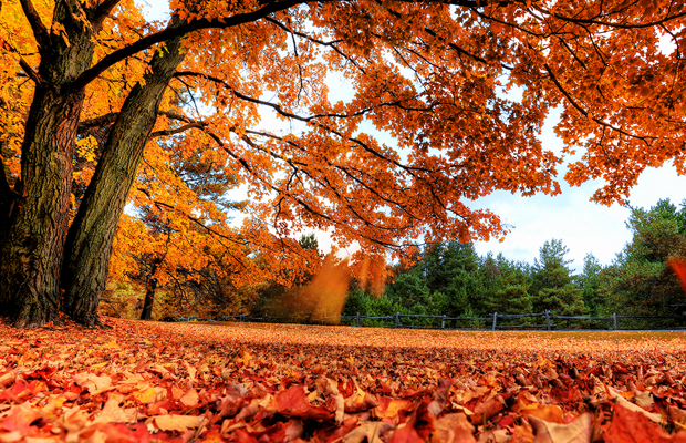 autumn leaves maple tree photo desktop